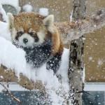 雪が楽しそう!レッサーパンダのホクト