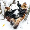 雪が降ったら遊んじゃう・・・双子レッサーパンダのキンとギン
