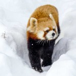 雪の中を楽しそうなギンちゃん