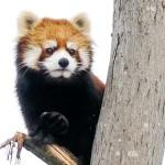リンゴ頂戴・・・円山動物園のレッサーパンダのキン