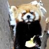 見ていて飽きない、レッサーパンダのギンちゃん