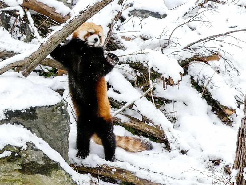 レッサーパンダのギン