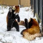 とある日のキンとギン・・・円山動物園生まれの双子レッサーパンダ