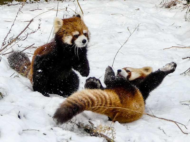 レッサーパンダのキンとギン