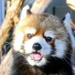 円山動物園の双子レッサーパンダのキン