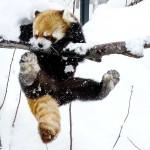木登りが苦手なレッサーパンダ・・・セイタ