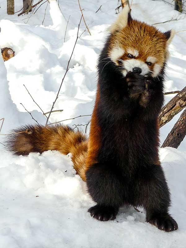 立って食べるレッサーパンダ