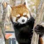 食欲旺盛なレッサーパンダのキンちゃん