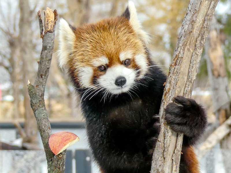 何かを見ているレッサーパンダ