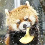 リンゴをくださいな♪・・・・・・ギン