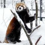雪を楽しむレッサーパンダのキン