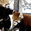 仲良し双子レッサーパンダ・・・キンとギン