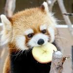 りんごのおギン