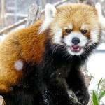 円山動物園のお父さんレッサーパンダのセイタ