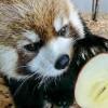 屋内展示場でブドウにリンゴ・・・・・・ホクト