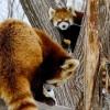 レッサーパンダの双子姉妹キンとギン