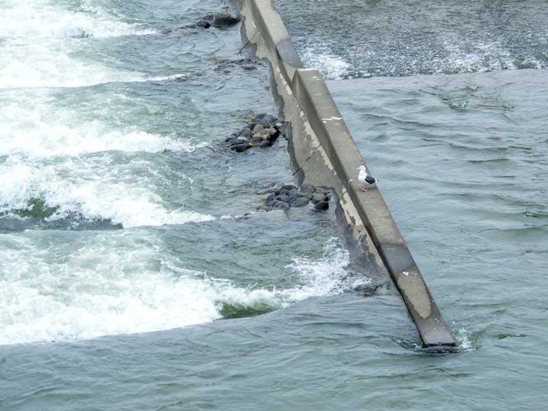 豊平川のカモメ