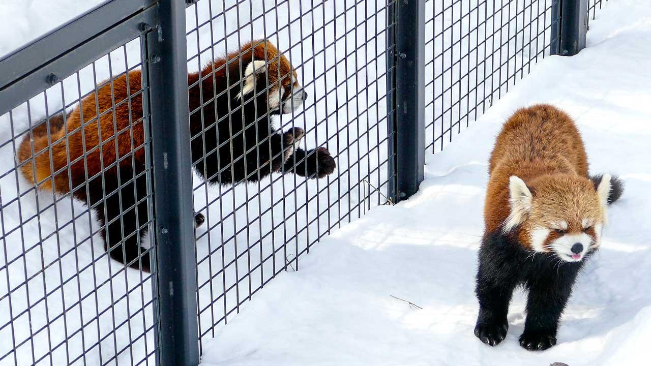 レッサーパンダのエイタとココ