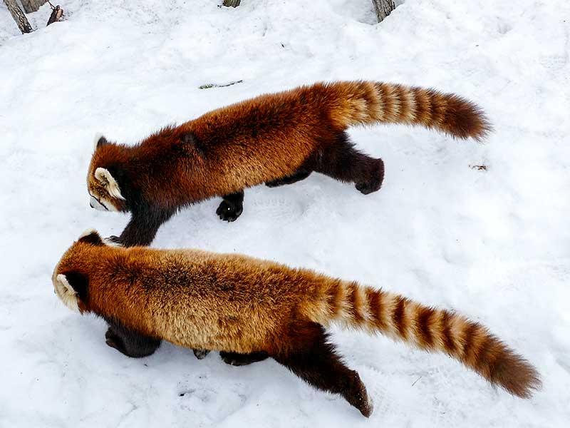 双子レッサーパンダのキンとギン