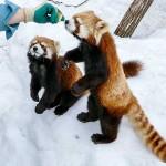 仲よし双子レッサーパンダのキンとギン