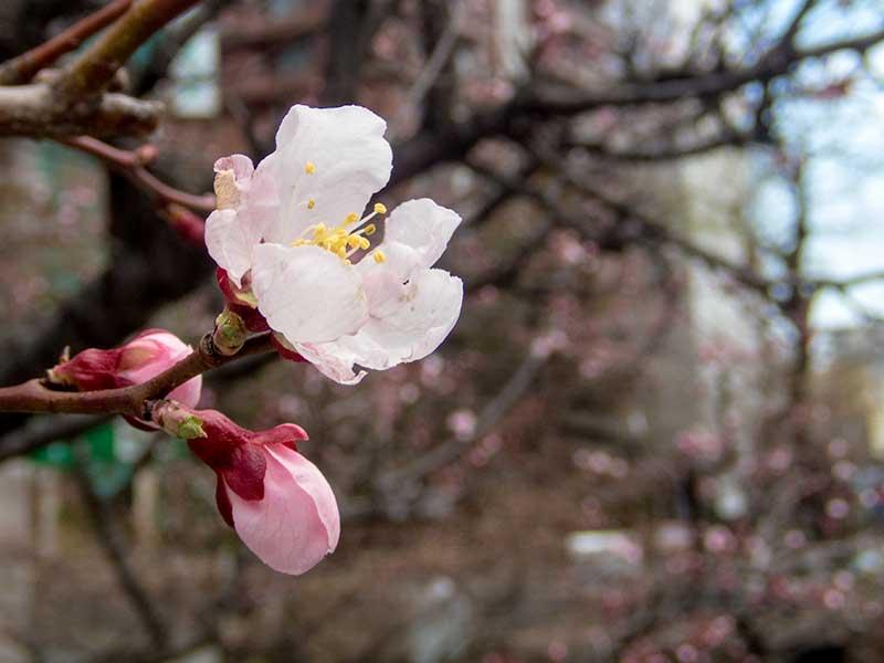 藻山橋の桜
