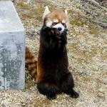 暖かくなってきた円山動物園・・・・・・レッサーパンダのキン