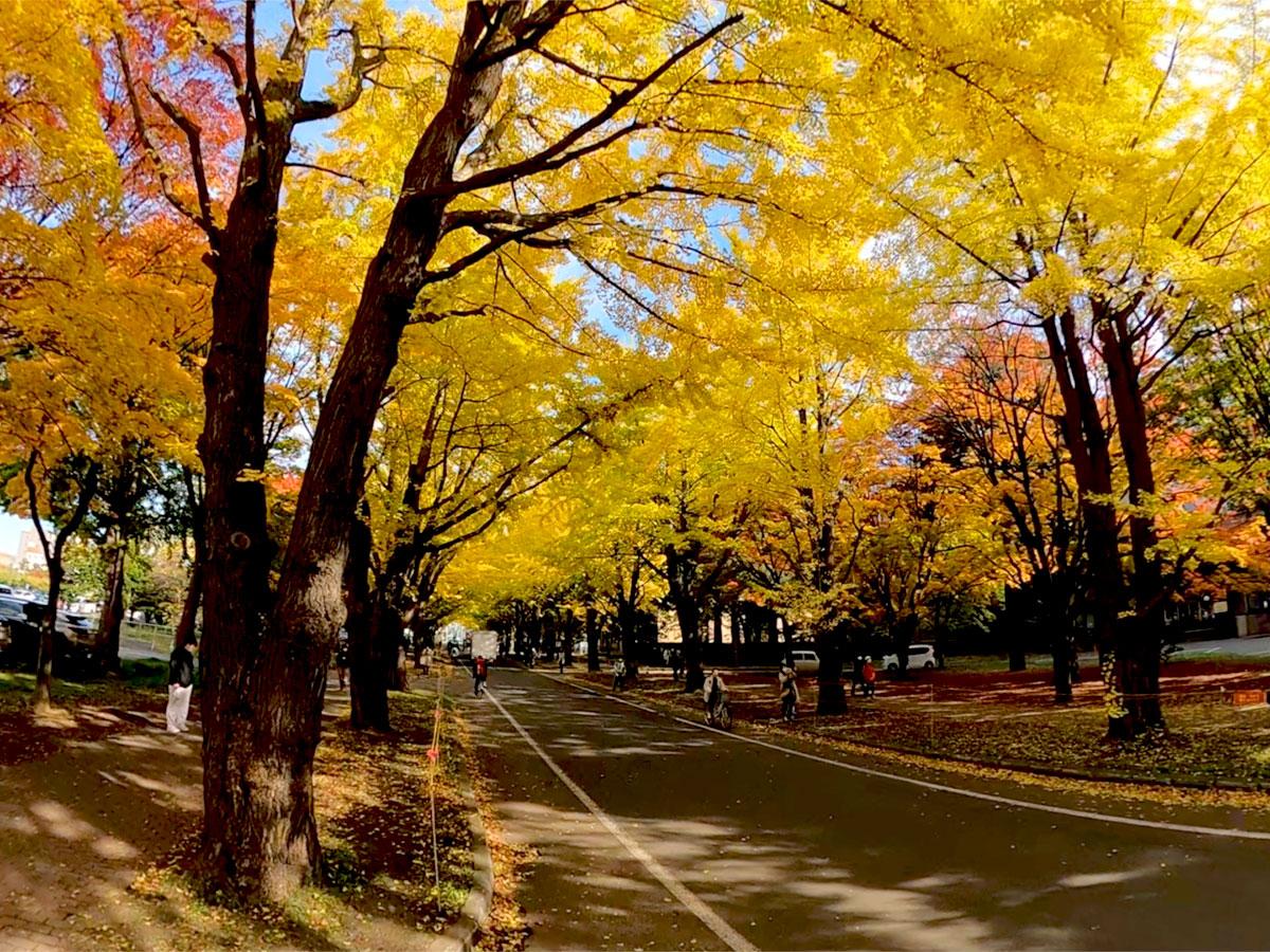 北海道大学銀杏並木